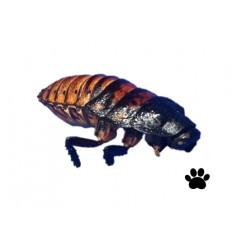 Hvæsende kakerlak frysetørret