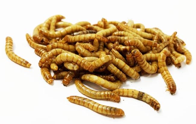Melorm larver